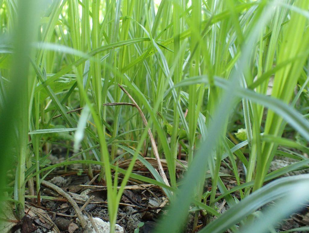 鬱蒼と茂った雑草ハマスゲのジャングル