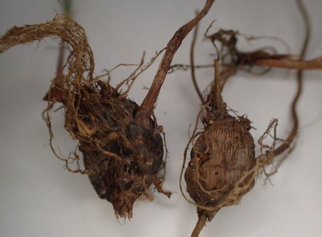 雑草ハマスゲの根っこ・球根
