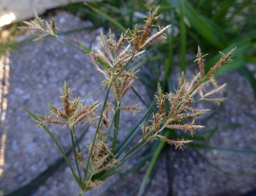 雑草ハマスゲの先に咲いている花序(かじょ)