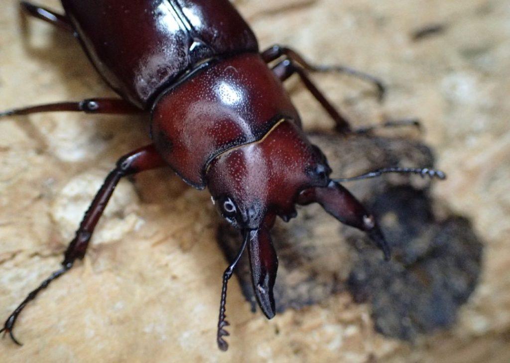沖縄の山の中で捕まえた天然のクワガタ虫
