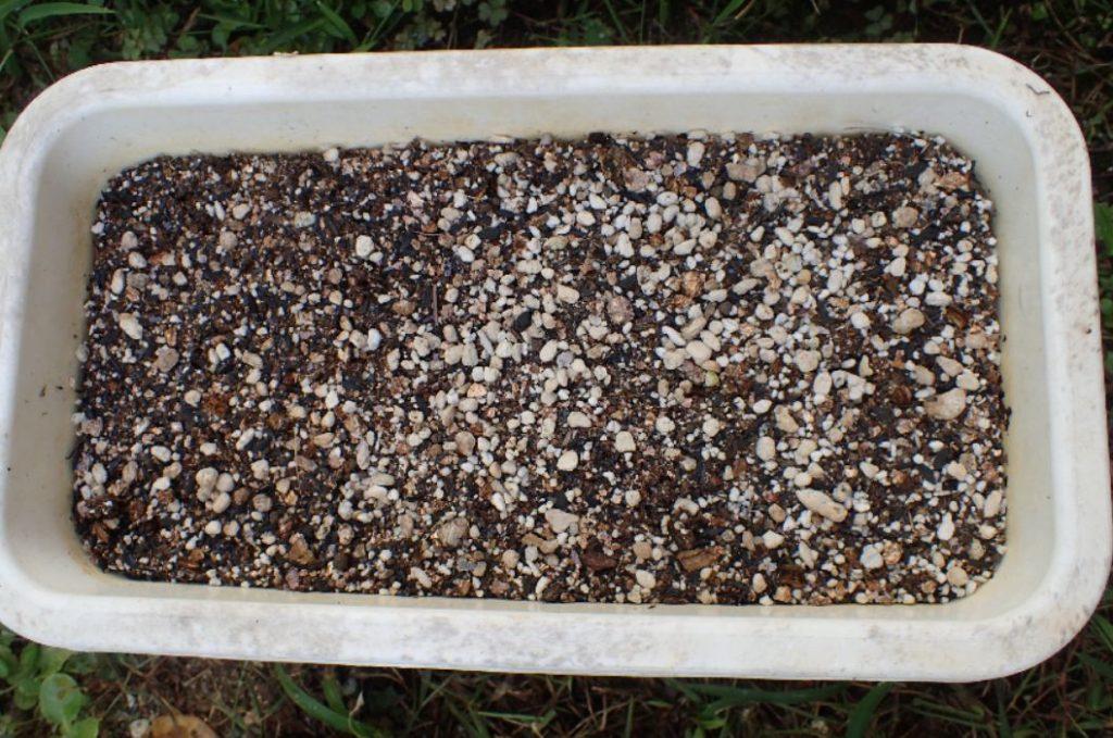 鉢に種蒔き用の土を入れて水に浸けたサクランボのタネを植えてみた