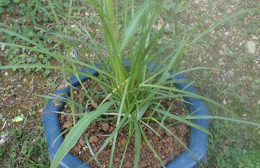 雑草ハマスゲを鉢に植え替えて育てて駆除法を模索する