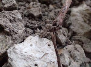 雑草鎌・除草鎌(カマ)でハマスゲを根から掘り起こす
