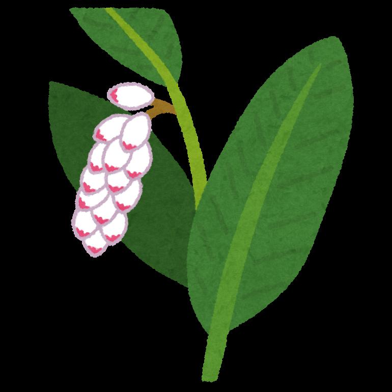 花が咲いたゲットウ(月桃)のイラスト(かわいいフリー素材いらすとや)