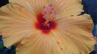 アブラムシが消えたハイビスカスの花が咲いた