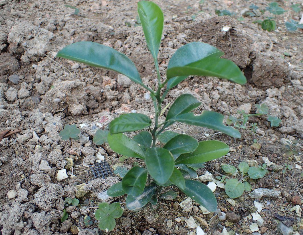 約一年前の種蒔きから発芽して20センチ程度に成長したシークアーサー果樹の木