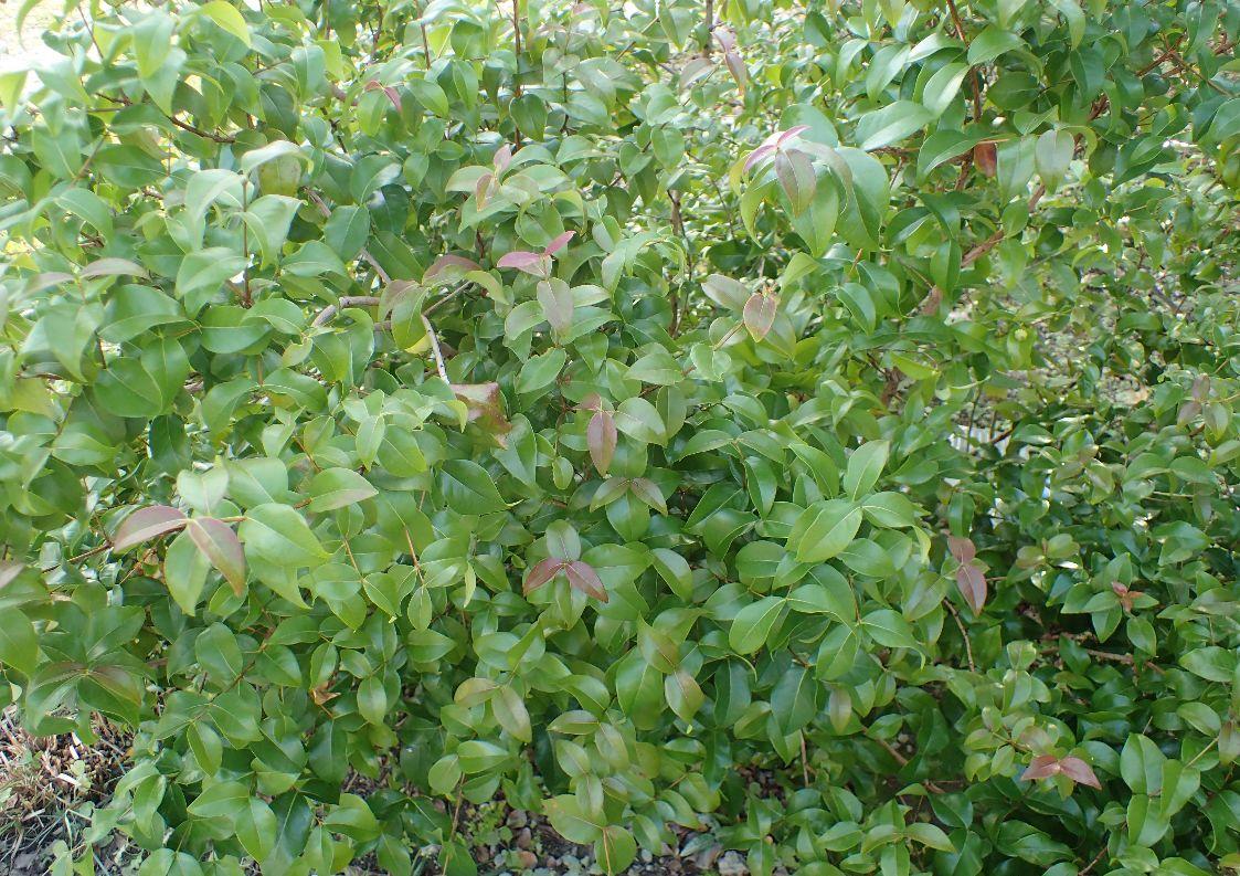 樹齢10年以上になるピタンガ果樹の木