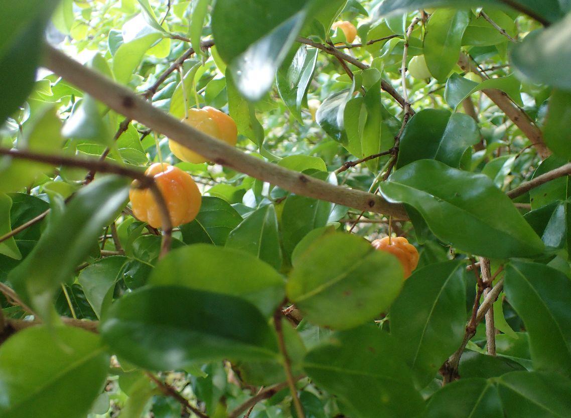 ピンク色のピタンガの果実がなっている様子