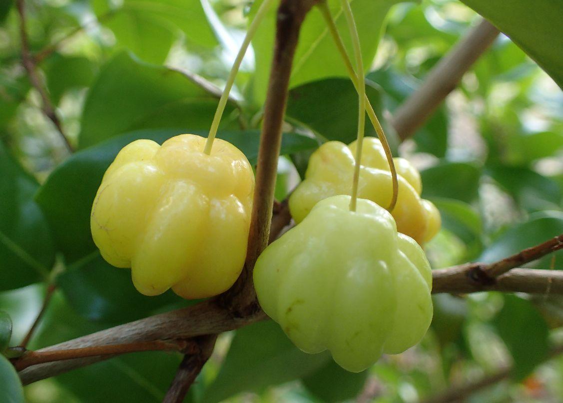赤くなる前の薄い黄緑色のピタンガ果実