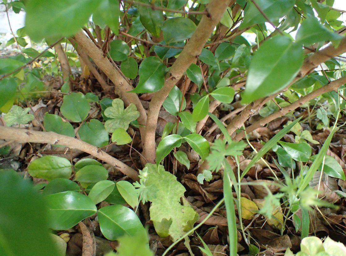 樹齢10年以上になるピタンガ果樹の根元