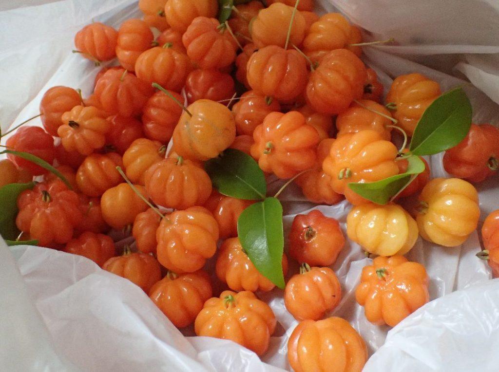 ピタンガの実を収穫した