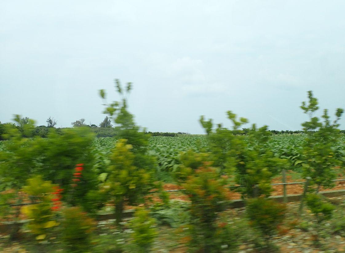 葉タバコ畑、ピーナッツ畑?のどかな風景が続く