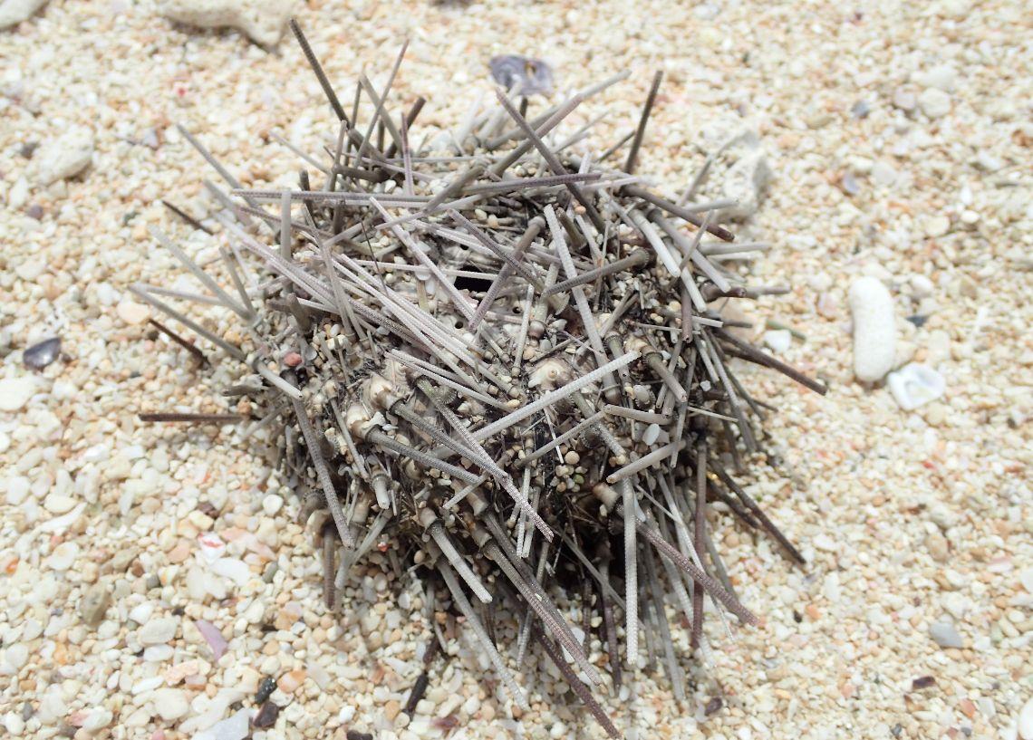 浜に打ち上がったウニの死骸