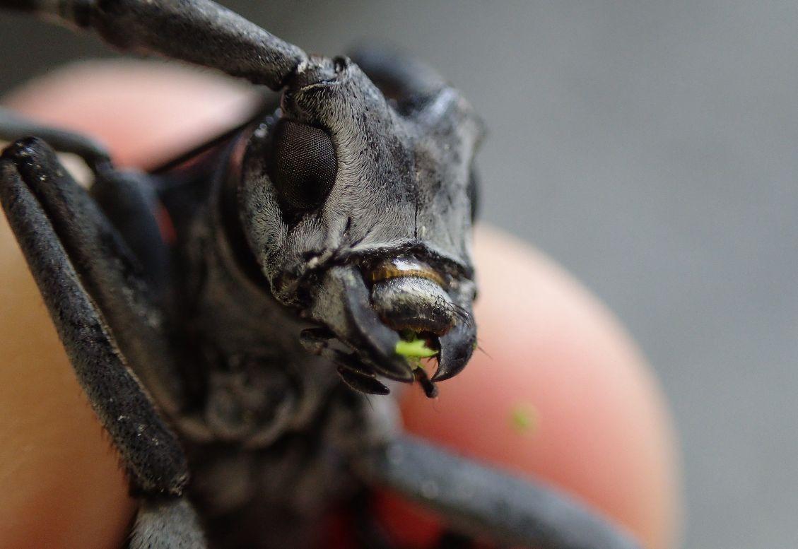 捕獲したカミキリムシの成虫は容赦なく駆除・退治する