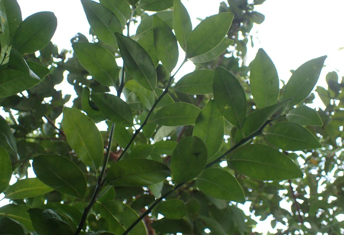 シークワーサー(ヒラミレモン)の果樹・葉