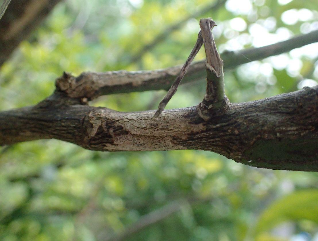 カミキリムシの成虫に囓られた枝