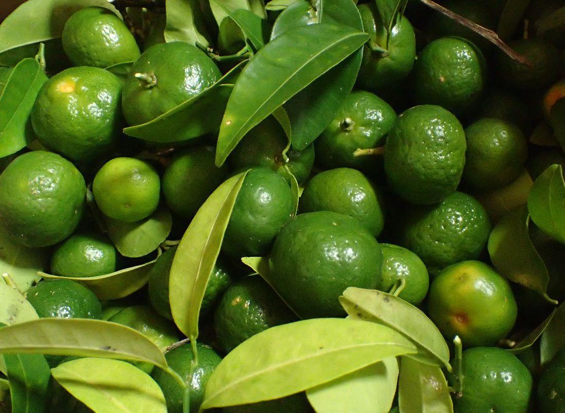 収穫したシークァーサーの果実