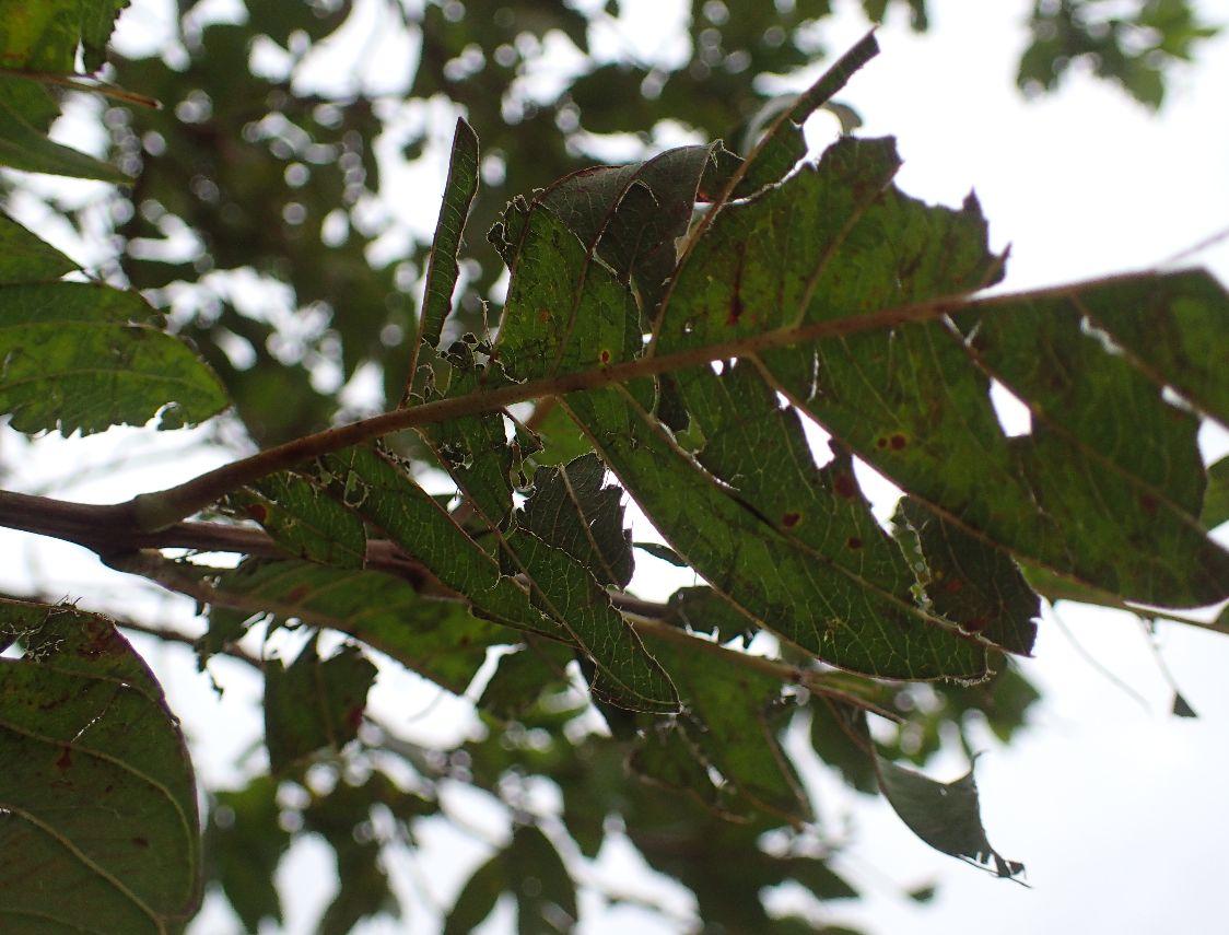 台風直後のボロボロになったバンシルー・グァバの葉