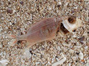 打ち上げられた魚の死骸