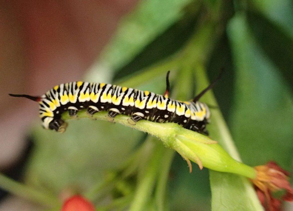蝶(ちょう)アサギマダラのカラフルな幼虫・芋虫