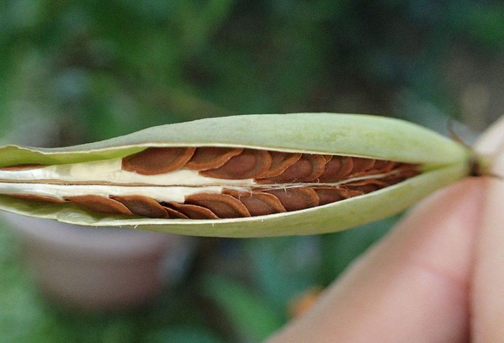 唐綿(とうわた)のタネ・種子