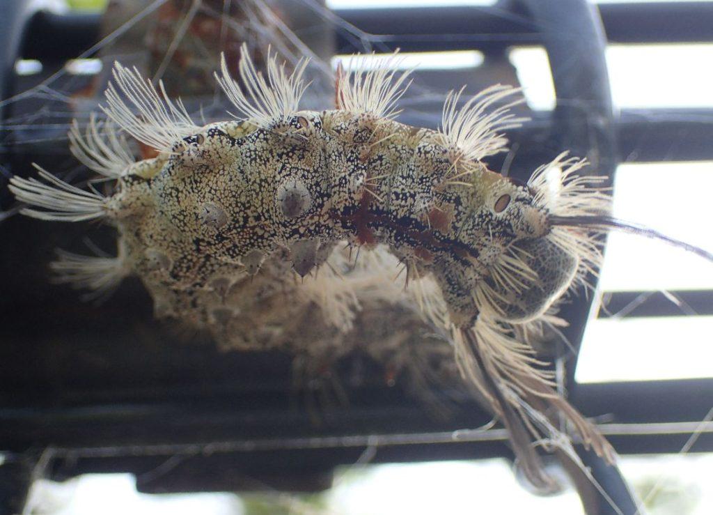 毒毛虫ヤマンギ