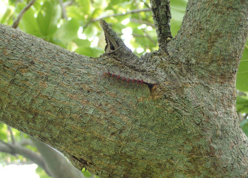 頭上の木を歩くマイマイガの幼虫