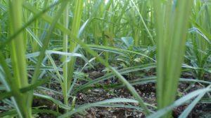 植えた苗木を遮光し生育を邪魔する雑草ハマスゲ